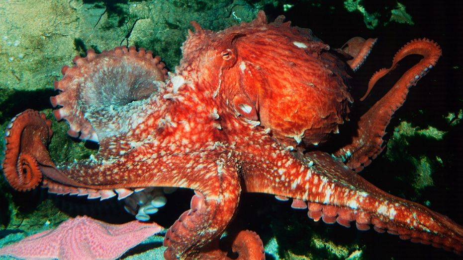 'Psychic' octopus that predicted Japan's World Cup results killed