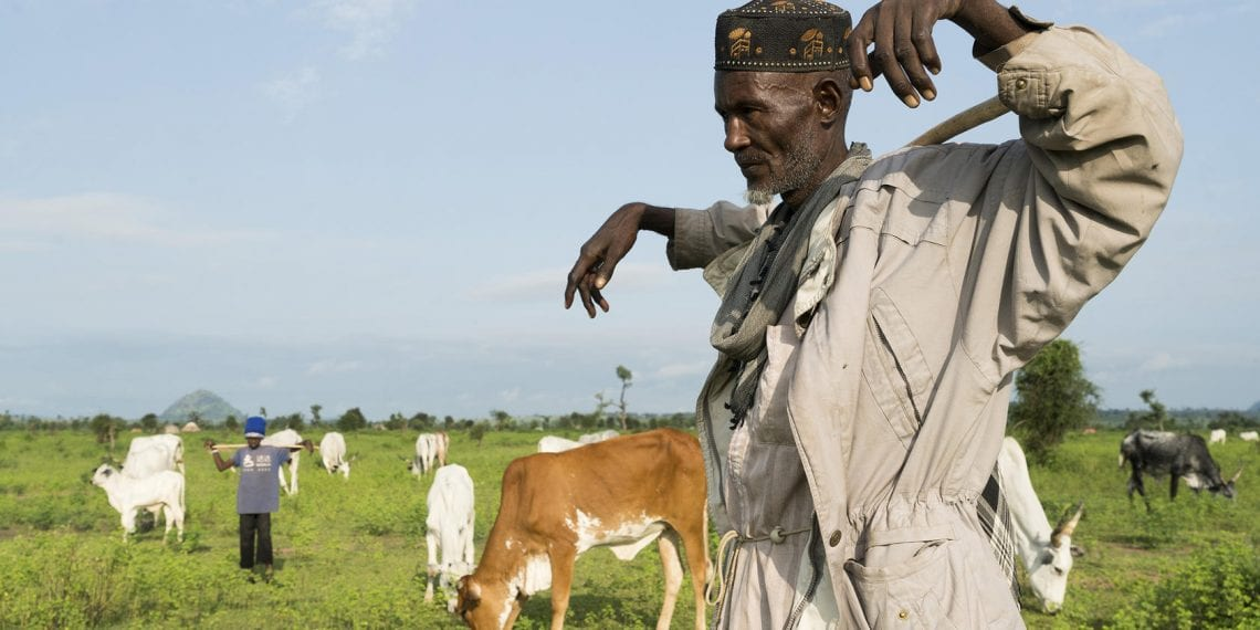 A herder watches his cows graze outside of the village of Koboga, Nigeria, Sept. 4, 2018. Conflicts between farmers and herdsmen vying for land, which mirror the 20th Century range wars in the American West, are turning more violent. (Adriane Ohanesian/The New York Times)