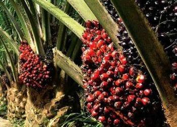 Oil Palm